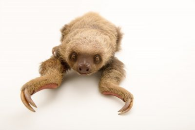 Picture of a Hoffmann's two-toed sloth (Choloepus hoffmanni hoffmanni) at the PanAmerican Conservation Association in Gamboa, Panama.