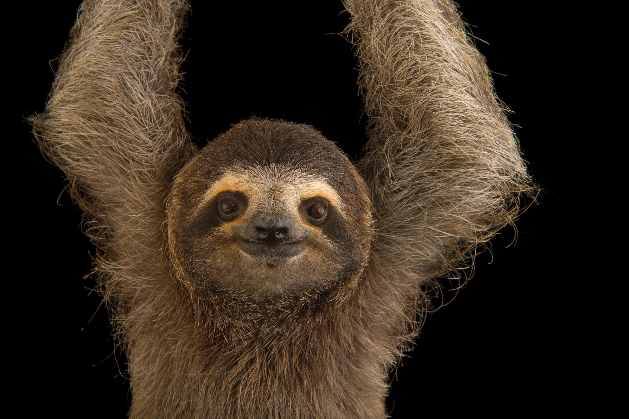 Ani062 00306 joel sartore - Sloth wallpaper phone ...