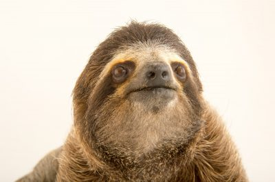 Picture of a brown-throated sloth (Bradypus variegatus) at the PanAmerican Conservation Association in Gamboa, Panama.