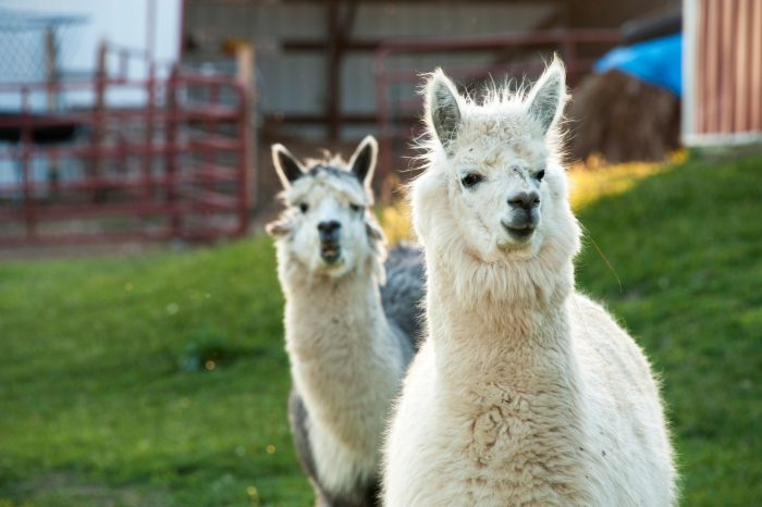 Photo: Alpacas near Denton, Nebraska.