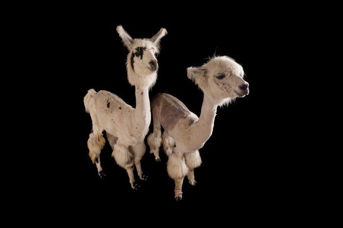 Llamas, Lama glama, after a recent summer haircut at the Lincoln Children's Zoo
