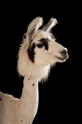 A llama, Lama glama, after a recent summer haircut at the Lincoln Children's Zoo