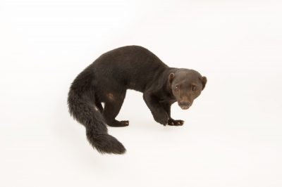 Picture of a female tayra (Eira barbara biologiae) at the Summit Municipal Park in Gamboa, Panama.