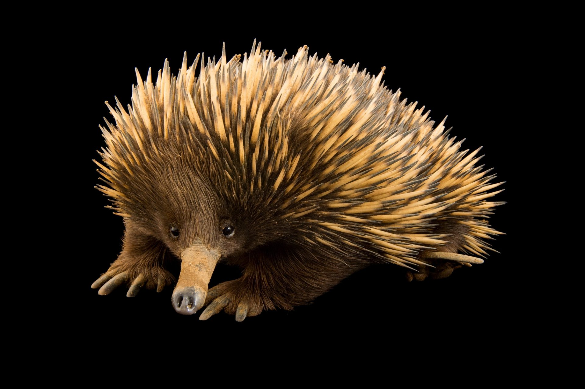 Picture of a Kangaroo Island echidna (Tachyglossus aculeatus multiaculeatus) at the LA Zoo.
