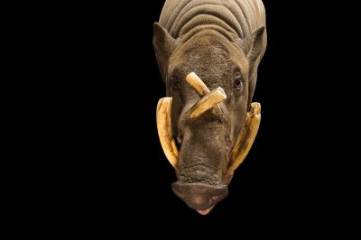 Picture of a male, vulnerable North Sulawesi babirusa (Babyrousa celebensis) at the LA Zoo.