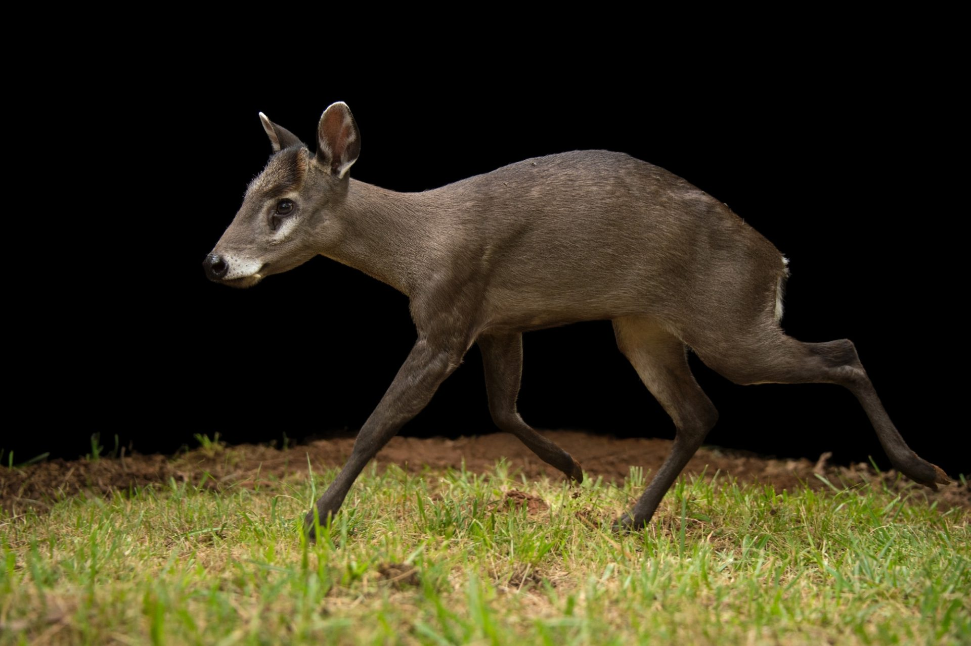 Picture of a western tufted deer (Elaphodus cephalophus cephalophus) at the Oklahoma City Zoo.