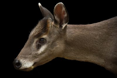 Photo: A western tufted deer (Elaphodus cephalophus cephalophus) at the Oklahoma City Zoo.