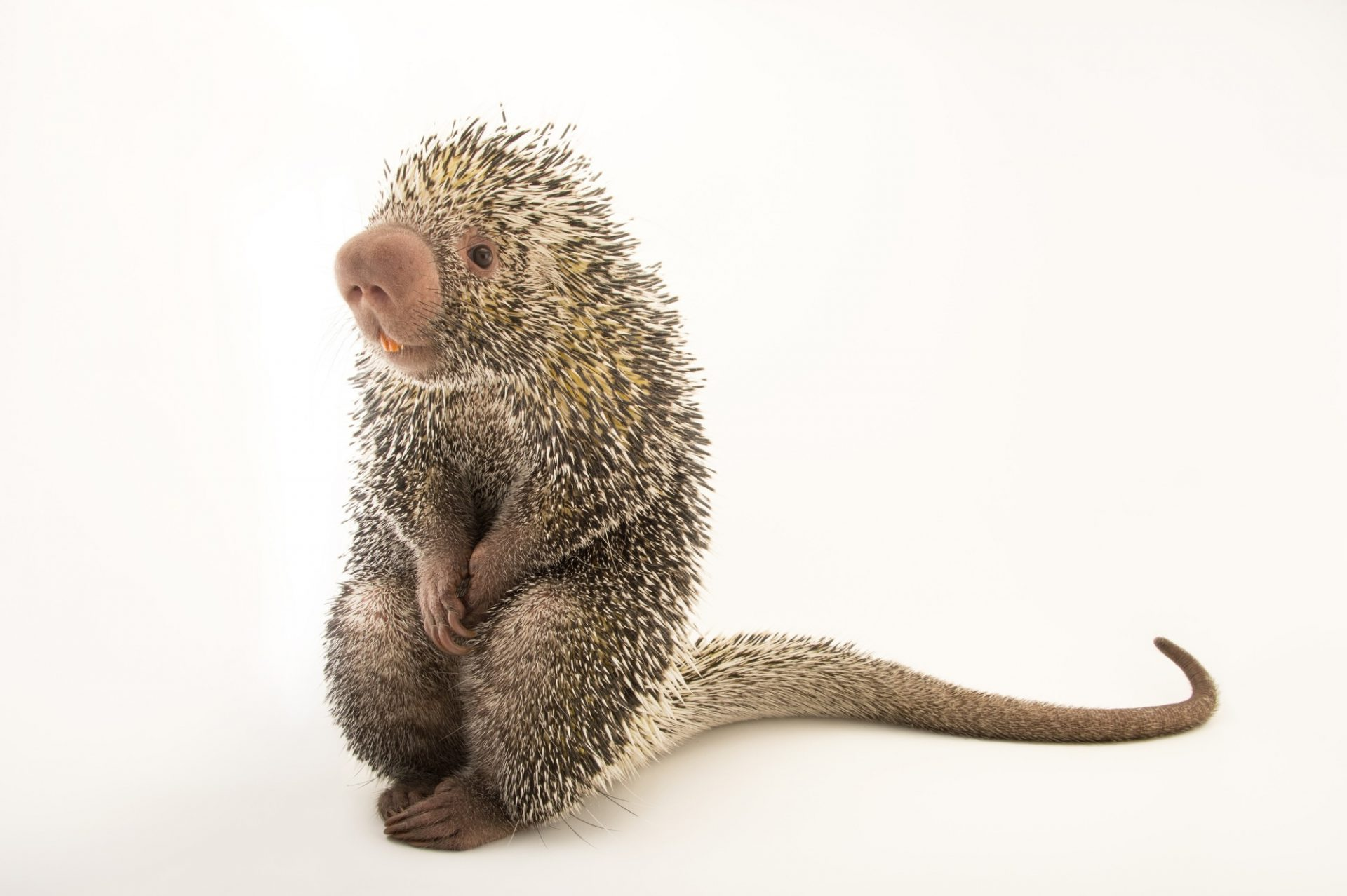 Picture of a Brazilian porcupine (Coendou prehensilis) at the Saint Louis Zoo.