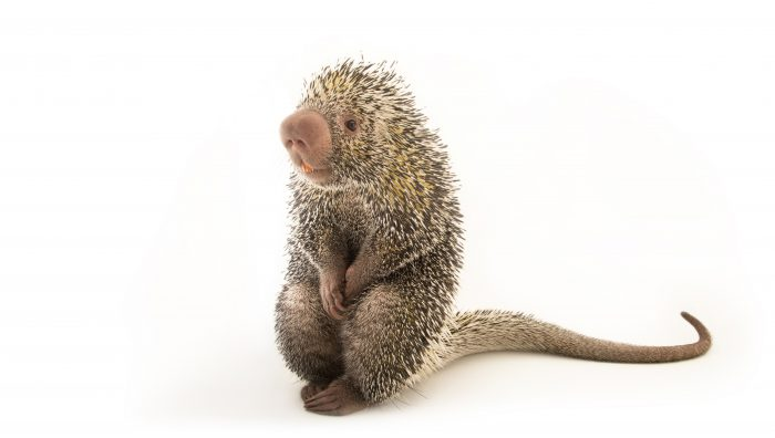 Photo: *Brazilian porcupine (Coendou quichua) at the Saint Louis Zoo.