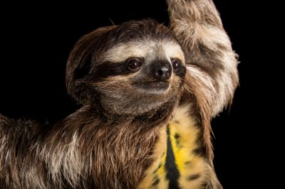 Picture of a brown-throated sloth (Bradypus variegatus) at the Dallas World Aquarium.