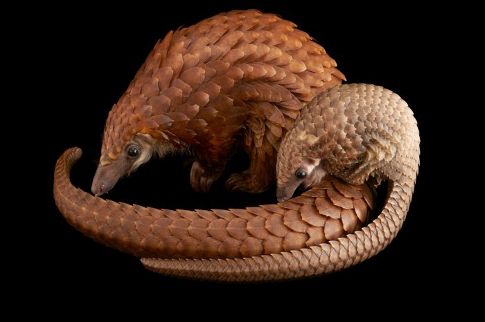 Picture of a vulnerable adult female white bellied pangolin (Phataginus tricuspis) with her baby, part of Pangolin Conservation, a non-profit organization in Saint Augustine, Florida.