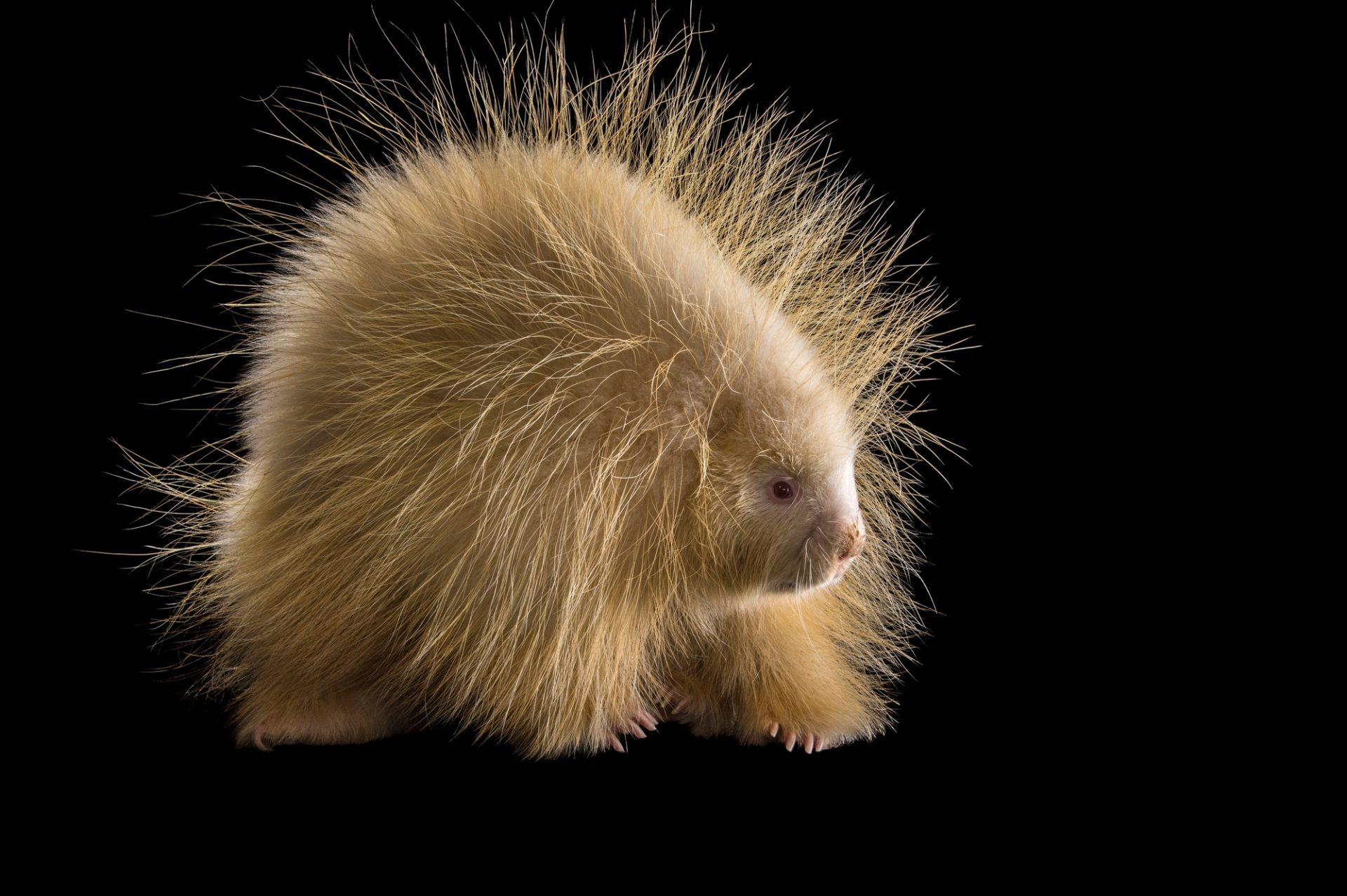 Picture of an albino porcupine (Erethizon dorsatum) named Halsey at the Nebraska Wildlife Rehab in Louisville, NE.