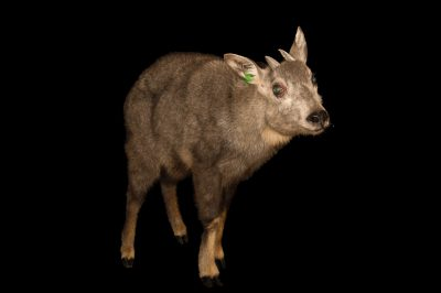 Picture of a vulnerable Chinese goral (Naemorhedus griseus) at the Minnesota Zoo.