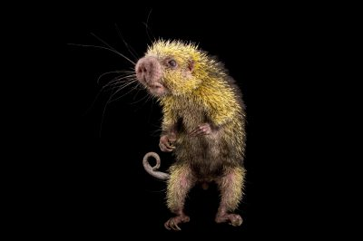 Picture of a Mexican hairy dwarf porcupine (Sphiggurus mexicanus) at the Knoxville Zoo.