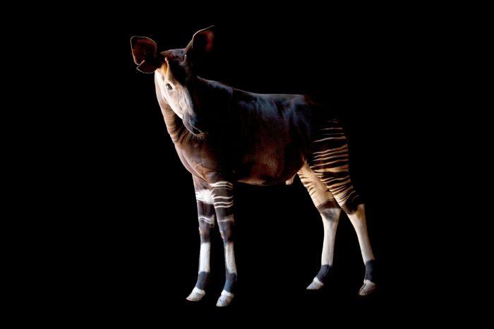 A male okapi (Okapia johnstoni.)