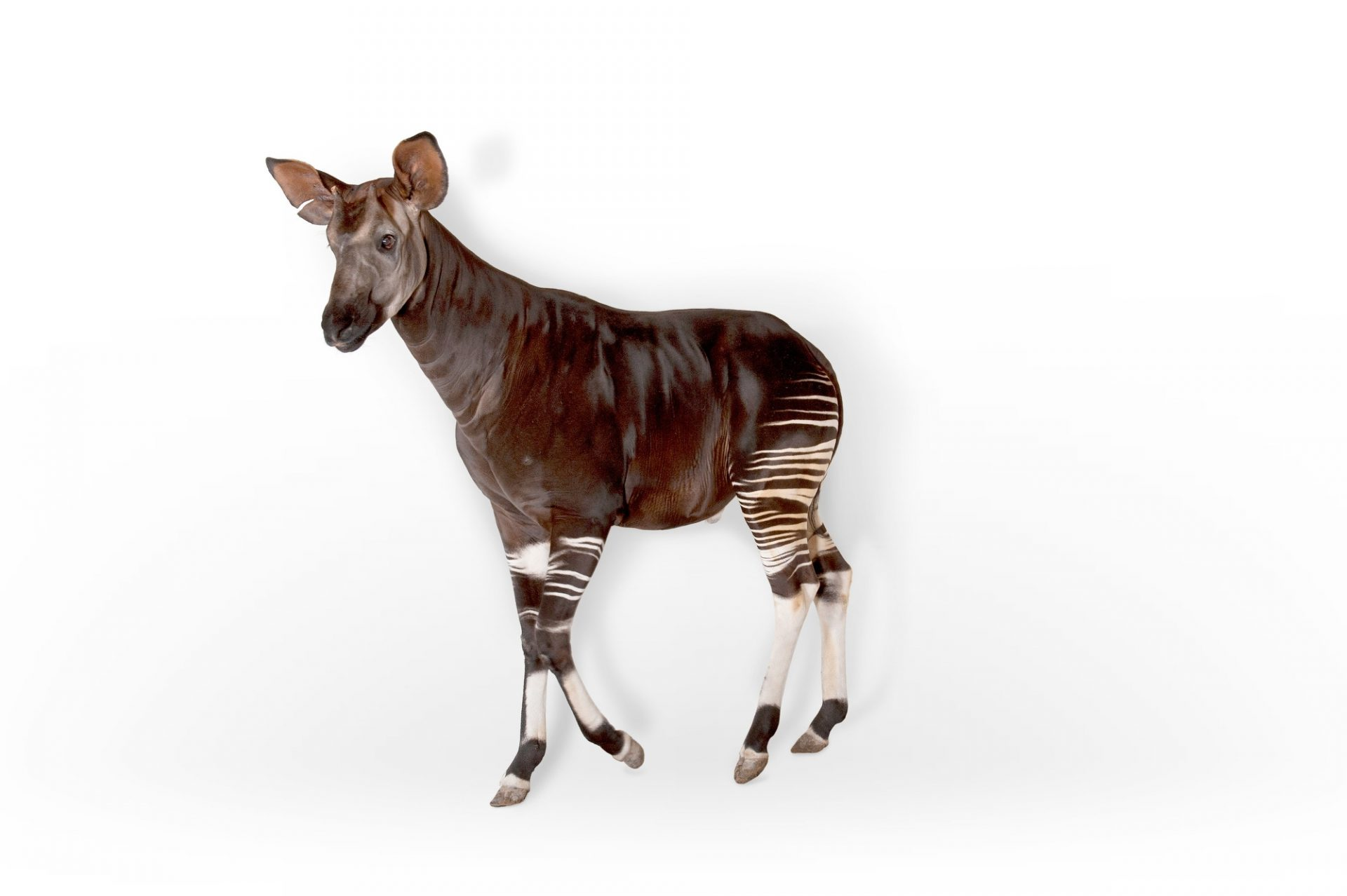 A male okapi (Okapia johnstoni) at the White Oak Conservation Center.