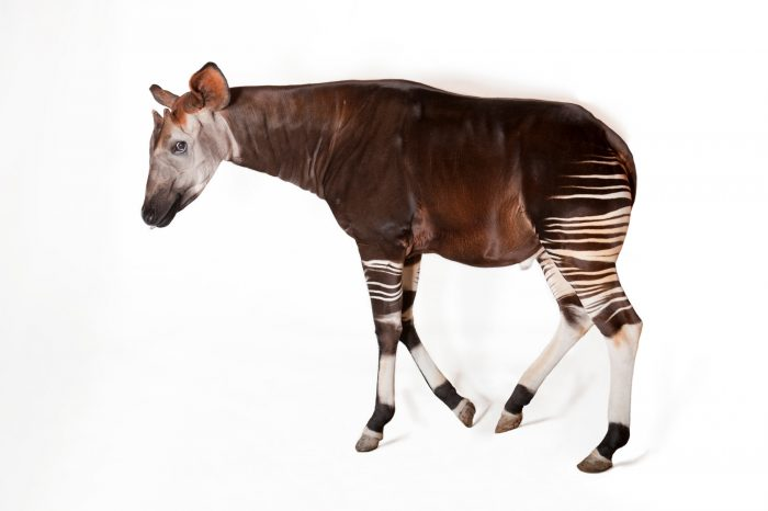 A male okapi (Okapia johnstoni) at White Oak Conservation Center.