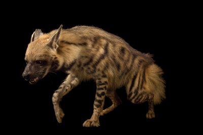 Photo: A striped hyena (Hyaena hyaena) at the Assam State Zoo cum Botanical Garden.