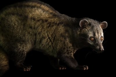 Photo: A common palm civet (Paradoxurus hermaphroditus) at the Assam State Zoo in Guwahati, Assam, India.
