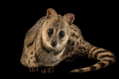 Photo: Small Indian civet (Viverricula indica) at the Assam State Zoo in Guwahati, Assam, India.