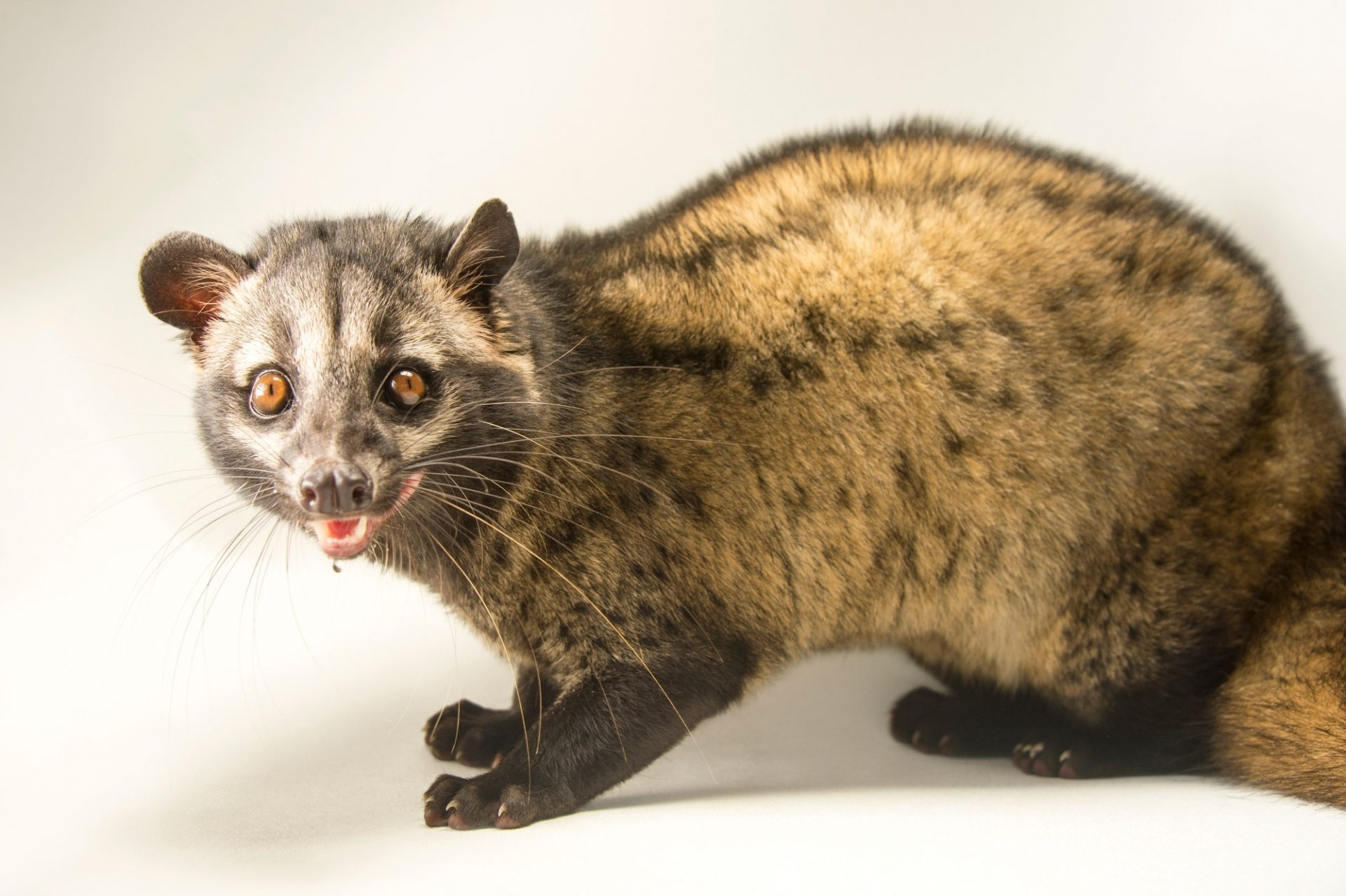 Photo: Common palm civet (Paradoxurus hermaphroditus) at the Assam State Zoo in Guwahati, Assam, India.