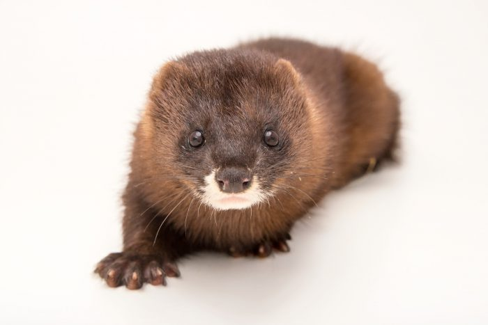 Photo: A critically endangered European mink (Mustela lutreola) at the Madrid Zoo.