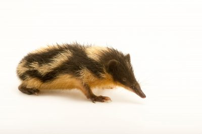 Photo: A lowland streaked tenrec (Hemicentetes semispinosus) in Madagascar.
