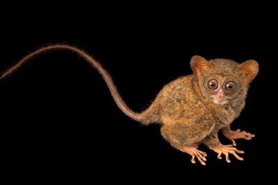 A spectral tarsier (Tarsius fuscus) at Night Safari, part of Wildlife Reserves Singapore.