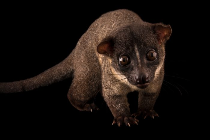 A small-toothed palm civet (Arctogalidia trivirgata) at Night Safari, part of Wildlife Reserves Singapore.