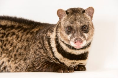 Photo: A Malay civet (Viverra tangalunga) at Night Safari, part of Wildlife Reserves Singapore.
