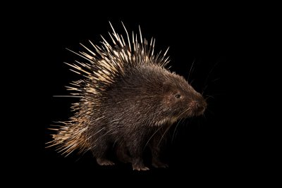 Photo: A Malayan porcupine or Himalayan porcupine (Hystrix brachyura) at Night Safari, part of Wildlife Reserves Singapore.