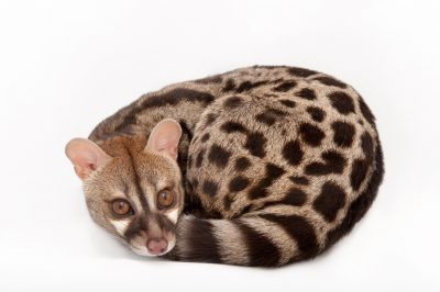 Picture of a rusty-spotted genet (Genetta maculata) at the Miller Park Zoo.