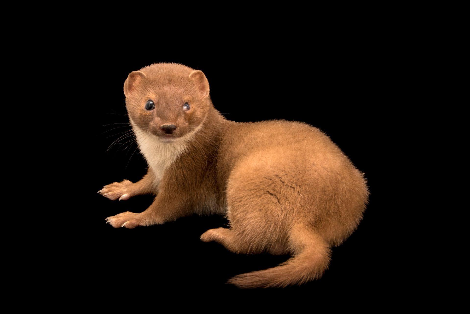 """Picture of a least weasel (Mustela nivalis boccamela) at Centro Fauna Selvatica """"Il Pettirosso""""."""