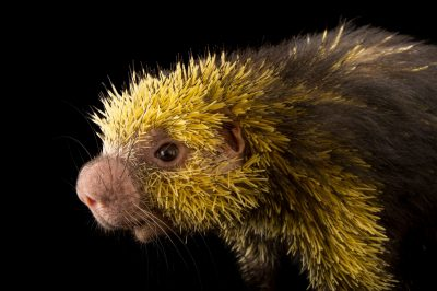 Picture of a Mexican hairy dwarf porcupine (Sphiggurus mexicanus) named Simon in the Kids ZooU section of the Philadelphia Zoo.