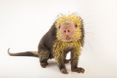 A Mexican hairy dwarf porcupine (Coendou mexicanus) named Simon in the Kids ZooU section of the Philadelphia Zoo.
