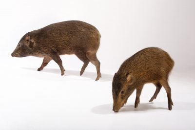 Photo: Critically endangered pygmy hogs (Porcula salvania) at the Pygmy Hog Breeding Center in India.