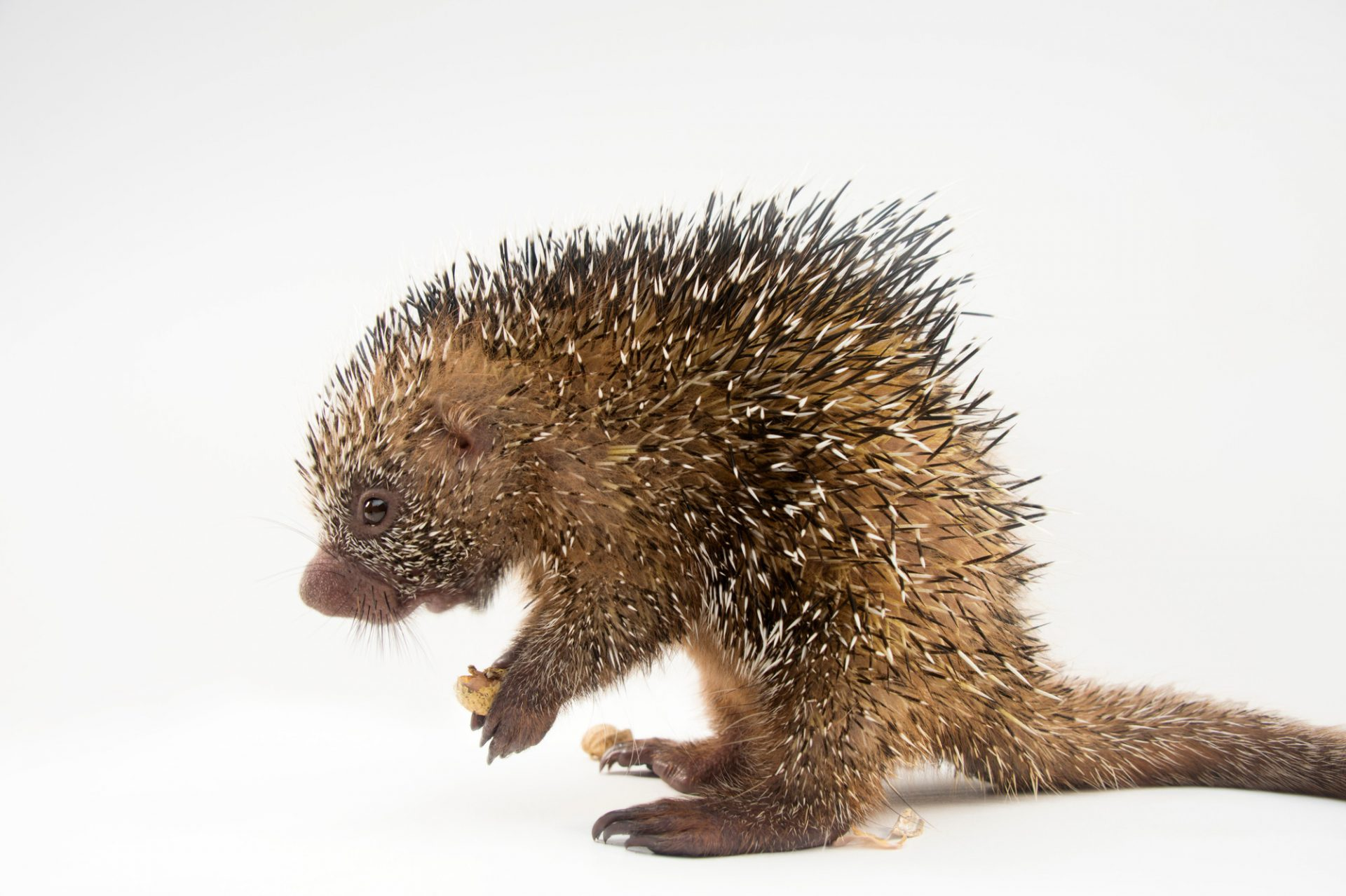 "A juvenile prehensile-tailed porcupine named ""Piglet"" (Coendou prehensilis) at the St. Augustine Alligator Farm Zoological Park in St. Augustine, Florida."