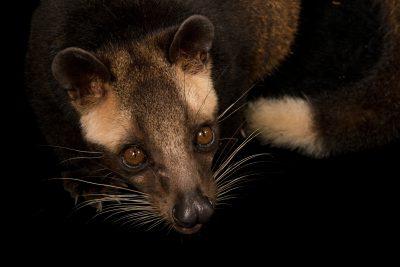 Photo: Masked palm civet, Paguma larvata annectens, at Zoo Negara.