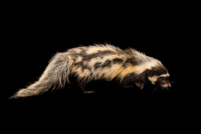 Photo: A Saharan striped polecat (Ictonyx libycus) at the Plzen Zoo.
