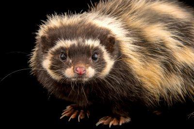 Photo: A Saharan striped polecat, Ictonyx libycus, at the Plzen Zoo.