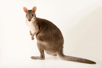 Photo: A dusky pademelon (Thylogale brunii) at the Plzen Zoo. This species is listed as vulnerable by IUCN.