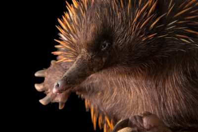 A short beaked echidna (Tachyglossus aculeatus lawesii) at the Plzen Zoo.