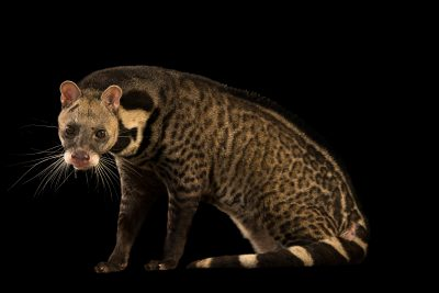 Photo: Large indian civet (Viverra zibetha) at Zoo Taiping.