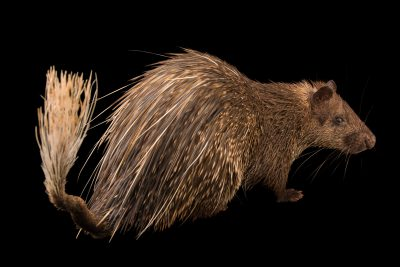 Photo: Asiatic brush-tailed porcupine (Atherurus macrourus) at Zoo Taiping.