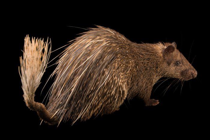 Photo: Asiatic brush-tailed porcupine (Atherurus macrourus) at Zoo Taiping.