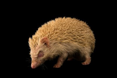 Photo: An albino Manchurian hedgehog (Erinaceus amurensis) at Zoo Negara.