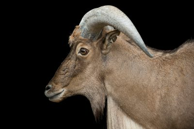 Photo: Kordofan aoudad or Sudan barbary sheep (Ammotragus lervia blainei) at the Dallas Zoo. This species is listed as vulnerable by the IUCN.