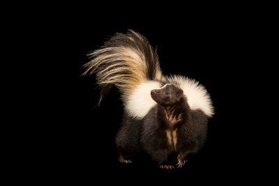 Photo: Arizona skunk (Mephitis mephitis estor) at Southwest Wildlife Conservation Center.