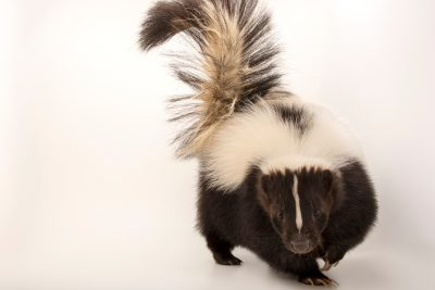 Photo: Arizona skunk (Mephitis mephitis estor) at Southwest Wildlife Conservation Center.