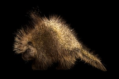 Pictured is a female North American porcupine (Erethizon dorsatum couesi) at Southwest Wildlife Conservation Center.